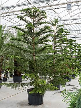 araucaria heterophylla bush h 450cm b 250cm potmaat 68cm