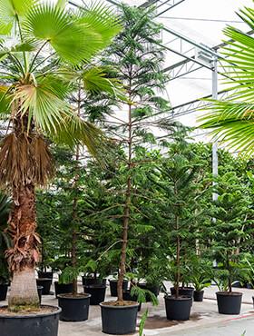 araucaria heterophylla bush h 650cm b 240cm potmaat 80cm