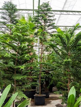 araucaria heterophylla bush h 750cm b 280cm potmaat 80cm