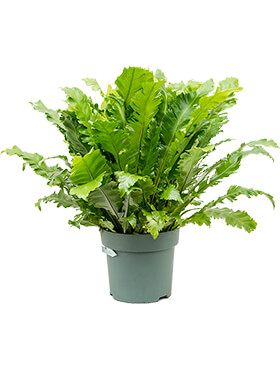 asplenium green miracle bush h 80cm b 75cm potmaat 30cm