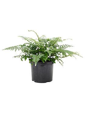 asplenium dimorphum parvati bush h 50cm b 50cm potmaat 23cm