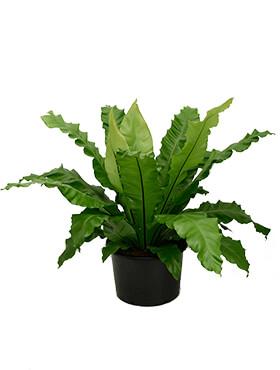 asplenium nidus bush h 80cm b 100cm potmaat 37cm