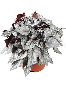 begonia arctic breeze 4tray h 32cm b 25cm potmaat 17cm