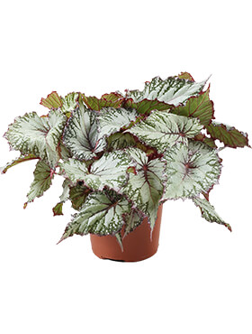 begonia asian tundra 6tray h 20cm b 20cm potmaat 12cm