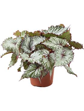 begonia asian tundra 4tray h 32cm b 25cm potmaat 17cm