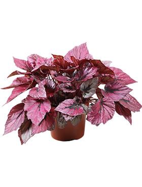 begonia indian summer 6tray h 20cm b 20cm potmaat 12cm