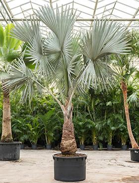 bismarckia nobilis stam h 550cm b 300cm potmaat 122cm