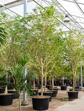 bulnesia arborea stam h 600cm b 300cm potmaat 110cm
