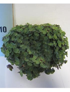 callisia turtle 8tray h 20cm b 20cm potmaat 105cm