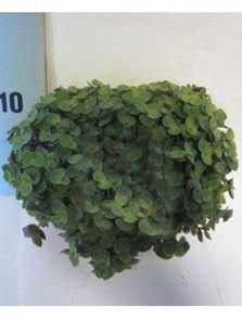 Calissia turtle 8/tray, H: 20cm, B: 20cm, potmaat: 10.5cm