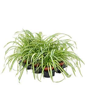 chlorophytum comosum atlantic 6tray h 25cm b 20cm potmaat 12cm