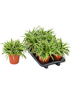 chlorophytum comosum ocean 6tray hanger h 30cm b 30cm potmaat 15cm