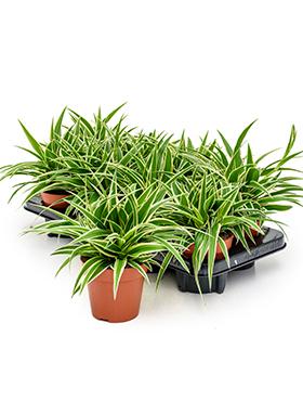 chlorophytum comosum ocean 8tray hanger h 25cm b 30cm potmaat 12cm