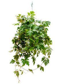 Cissus ellen danica, Hanger, H: 40cm, B: 35cm, potmaat: 17cm