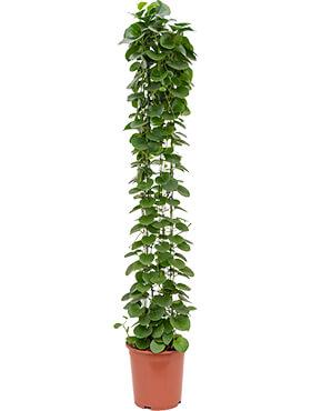 cissus rotundifolia draadzuil h 160cm b 35cm potmaat 27cm
