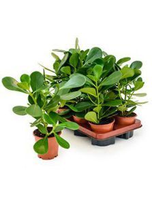 Clusia rosea green magic 6/tray, H: 35cm, potmaat: 12cm