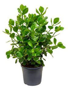 Clusia rosea princess, Bush 2pp, H: 75cm, B: 50cm, potmaat: 30cm