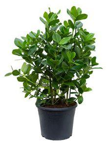 Clusia rosea princess, Bush 3pp, H: 100cm, B: 55cm, potmaat: 35cm