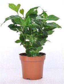 Coffea arabica 6/tray, H: 30cm, potmaat: 12cm
