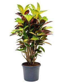 Croton (codiaeum) iceton, Vertakt, H: 95cm, B: 45cm, potmaat: 29cm