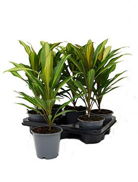 cordyline fruticosa kiwi 6tray h 40cm b 28cm potmaat 12cm