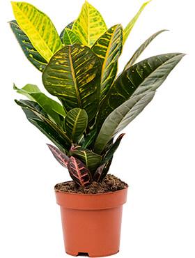 croton codiaeum variegatum petra h 45cm b 25cm potmaat 17cm