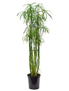 Cyperus alternifolius glaber, Toef, H: 120cm, B: 60cm, potmaat: 23cm