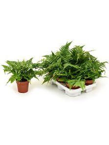 Dryopteris erythrosora 6/tray, H: 40cm, B: 25cm, potmaat: 12cm