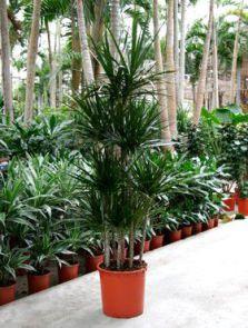 Dracaena marginata, Carrousel (8pp), H: 190cm, B: 45cm, potmaat: 34cm