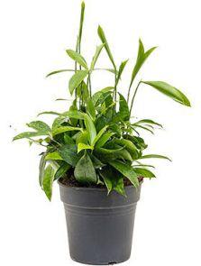 Dracaena surculosa, Bush, H: 30cm, B: 30cm, potmaat: 19cm
