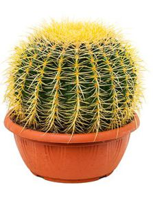 Echinocactus grusonii, H: 30cm, potmaat: 25cm