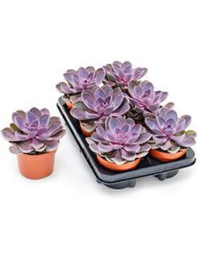 Echeveria purple pearl 6/tray, H: 20cm, potmaat: 12cm