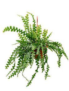 Epiphyllum anguliger, Hanger, H: 50cm, B: 40cm, potmaat: 30cm