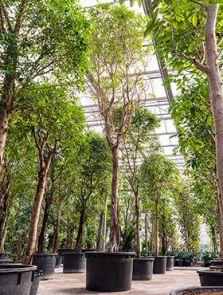 Ficus binnendijkii 'Alii', Stam, H: 900cm, B: 300cm, potmaat: 90cm