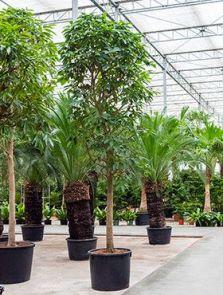 Ficus altissima, Stam, H: 550cm, B: 250cm, potmaat: 90cm