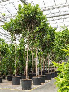 Ficus lyrata, Stam (550-600), H: 550cm, B: 160cm, potmaat: 96cm