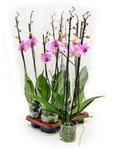 Phalaenopsis washington 6/tray, 2-Tak roze, H: 75cm, B: 20cm, potmaat: 12cm
