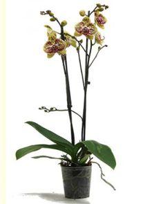 Phalaenopsis mariola 10/tray, 2-Tak 18+ paars gevlekt, H: 60cm, B: 25cm, potmaat: 12cm