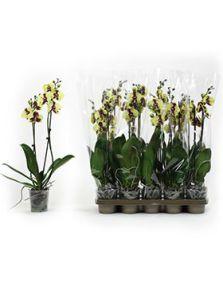 Phalaenopsis yellow cow 10/tray, 2-Tak 14+ geel gevlekt, H: 60cm, B: 25cm, potmaat: 12cm