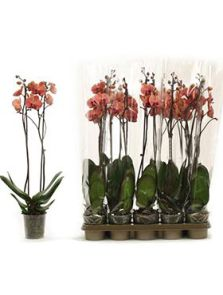 Phalaenopsis october forest 6/tray, 2-Tak 18+ oranje, H: 70cm, B: 25cm, potmaat: 12cm