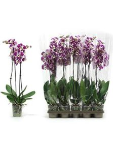 Phalaenopsis compilation 10/tray, 2-Tak 18+ paars gevlekt, H: 75cm, B: 25cm, potmaat: 12cm