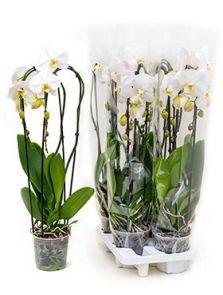 Phalaenopsis tsarine 4/tray, 2-Tak cascade wit, H: 75cm, B: 20cm, potmaat: 15cm