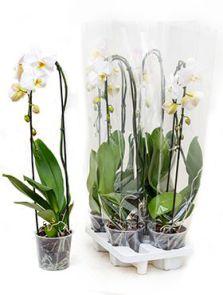 Phalaenopsis tsarine 4/tray, 1-Tak cascade wit, H: 75cm, B: 20cm, potmaat: 15cm