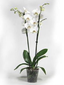 Phalaenopsis lively 6/tray, 2-Tak 18+ wit, H: 65cm, B: 25cm, potmaat: 12cm