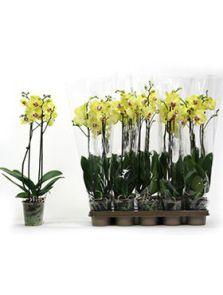 Phalaenopsis limelight 6/tray, 2-Tak 14+ limelight, H: 65cm, B: 20cm, potmaat: 12cm