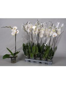 Phalaenopsis 10/tray, 1-Tak wit, H: 60cm, B: 25cm, potmaat: 12cm