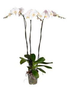 Phalaenopsis tsarine 4/tray, 3-Tak grandiflora wit, H: 80cm, B: 25cm, potmaat: 15cm
