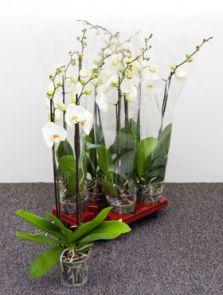 Phalaenopsis ikaria 6/tray, 2-Tak grandiflora wit, H: 75cm, B: 20cm, potmaat: 12cm