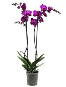 Phalaenopsis party time 6/tray, 2-Tak paars, H: 70cm, B: 20cm, potmaat: 12cm