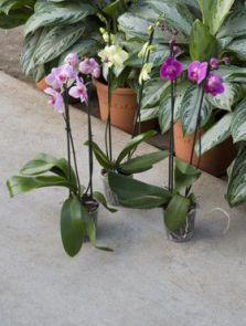 Phalaenopsis 6/tray, 2-Tak mix 16+, H: 70cm, B: 20cm, potmaat: 12cm
